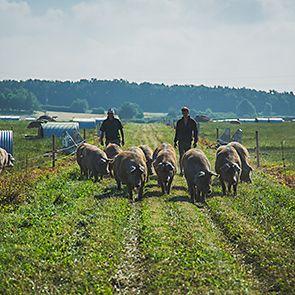 M&S sheep farm