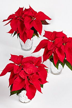 Christmas poinsettia glass trio