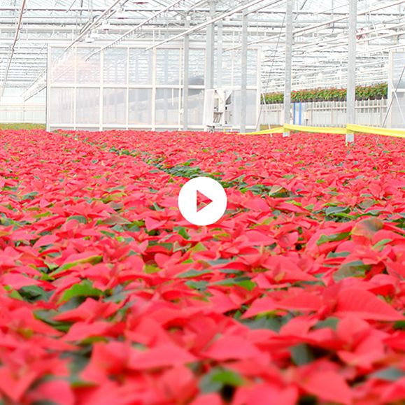 Meet our Christmas flower growers