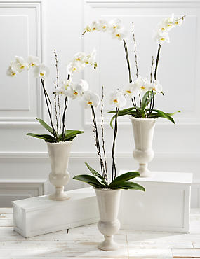 Majestic Ivory Celebration Orchid Trio