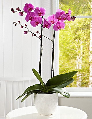 Extra Tall Phalenopsis Orchid Flowers