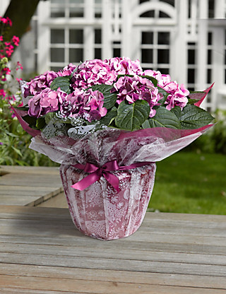 Gift Wrapped Hydrangea Flowers