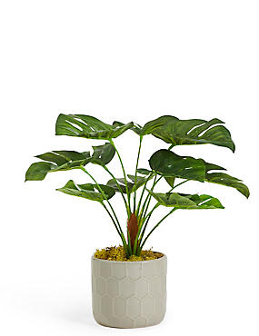 Small Cheese Plant in Ceramic