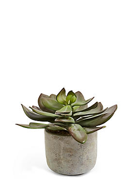 Wide Succulent in Ceramic Pot