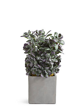 Boxwood Bush in Slate Pot