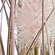 Foxtail Grass, PURPLE MIX, swatch