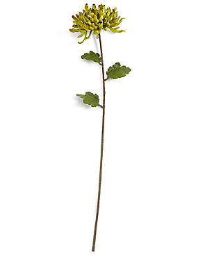Chrysanthemum Stem