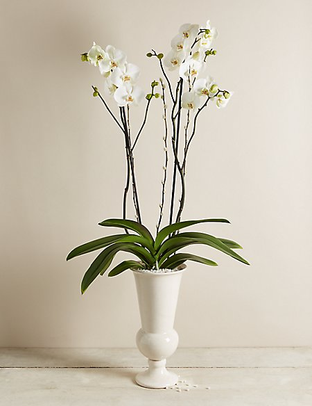 Ivory Celebration Orchid Collection