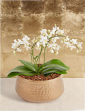 Shimmering Christmas Orchid