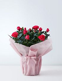 Large Gift-Wrapped Pink Rose