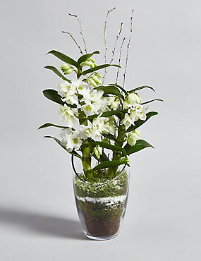 Christmas Orchid Glass (Pre Order)