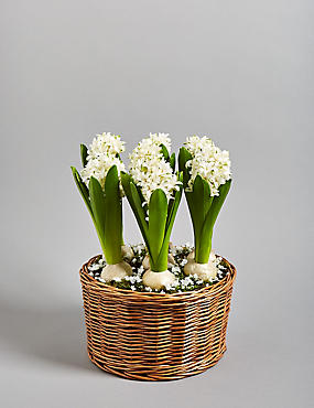 Hyacinth Bulb Basket