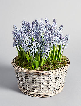 Gift Wrapped Muscari Bowl