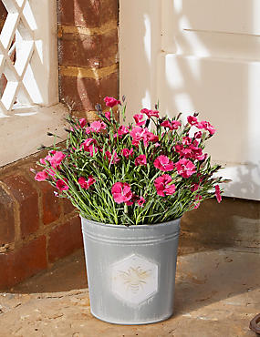 Dianthus Patio Tin