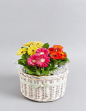 Vibrant Gerbera Basket with Free Chocolates
