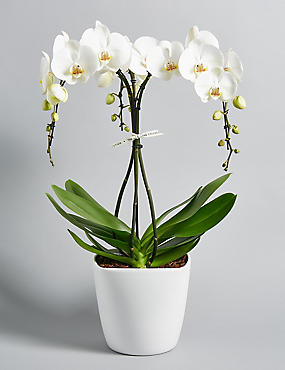 The Collection White Umbrella Orchid