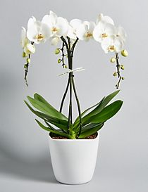 Large Umbrella Orchid (Free Delivery from 20-28 March)