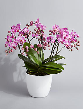100 Orchid Flowers (Pre Order)