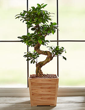 Large Ficus Ginseng