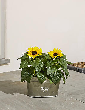 Summer Sunflower Planter (Free Swiss Chocolates worth £6 for a limited time)