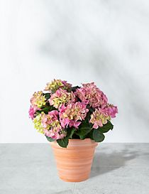 Hydrangea Patio Basket (Pre-Order: Available from 3rd May 2018)