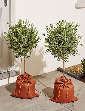 Pair of Lavender Trees