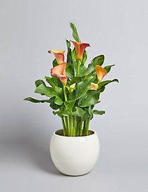 Calla Lily in Decorative Ceramic