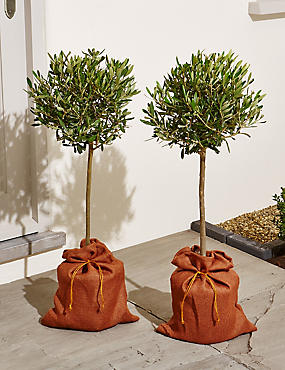 Pair of Standard Olive Trees