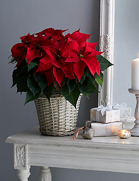 Large Christmas Gift Wrapped Poinsettia