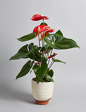 Anthurium Ceramic