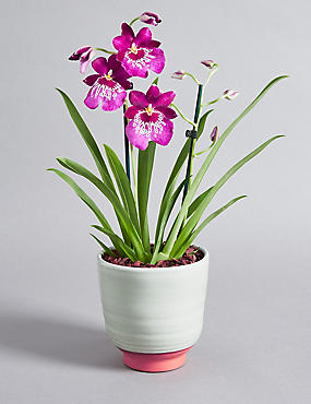 Pansy Miltonia Orchid Globe