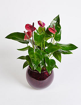 Purple Anthurium Globe