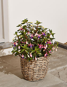 Fuchsia Patio Basket