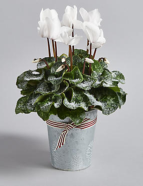 Christmas Cyclamen Tin
