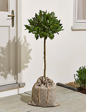 Large Bay Tree