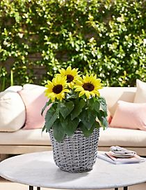 Summer Sunflower Patio Basket with Free Chocolates
