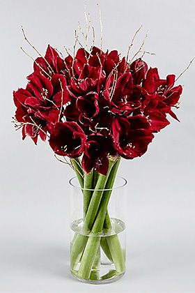 Autograph Christmas red royal amaryllis