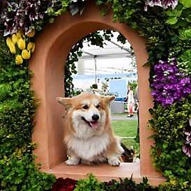 A corgi visits our award-winning Chelsea flower stand