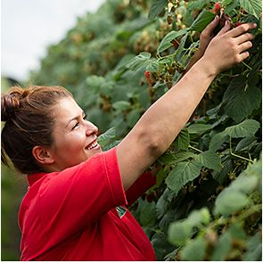A raspberry picker on Tuesley Farm