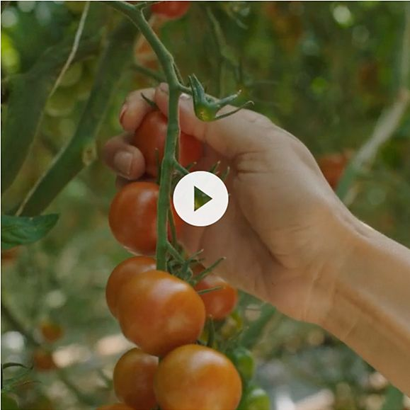 Video on the production of our Isle of Wight tomatoes