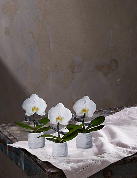 Autograph™ Trio of Mini Orchids