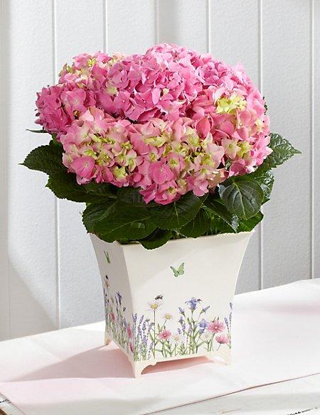 Hydrangea Flowering Tin