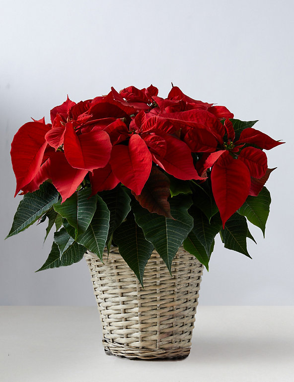 Large Poinsettia Planter M S