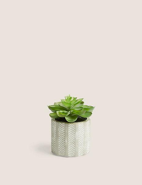 Mini Echeveria In Concrete