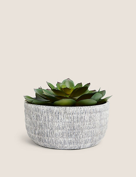 Large Echeveria in Textured Concrete Pot