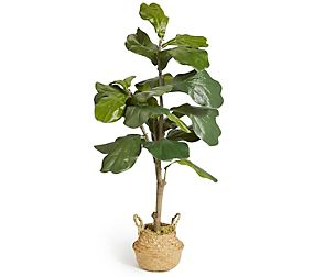 Large Fiddle Leaf Fig Tree