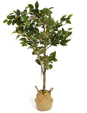 Medium Ficus Tree