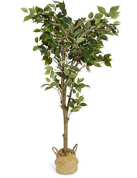 Large Ficus Tree