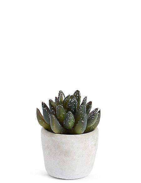 Christmas Aloe Succulent