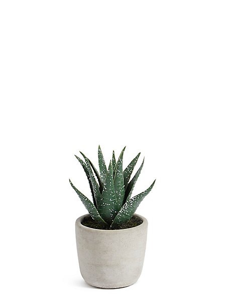Christmas Spiky Succulent